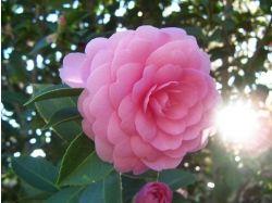 Камелия фото цветы
