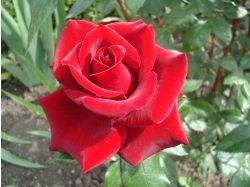 Цветы фото розы скачать