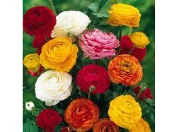 Цветы фото ранункулюс