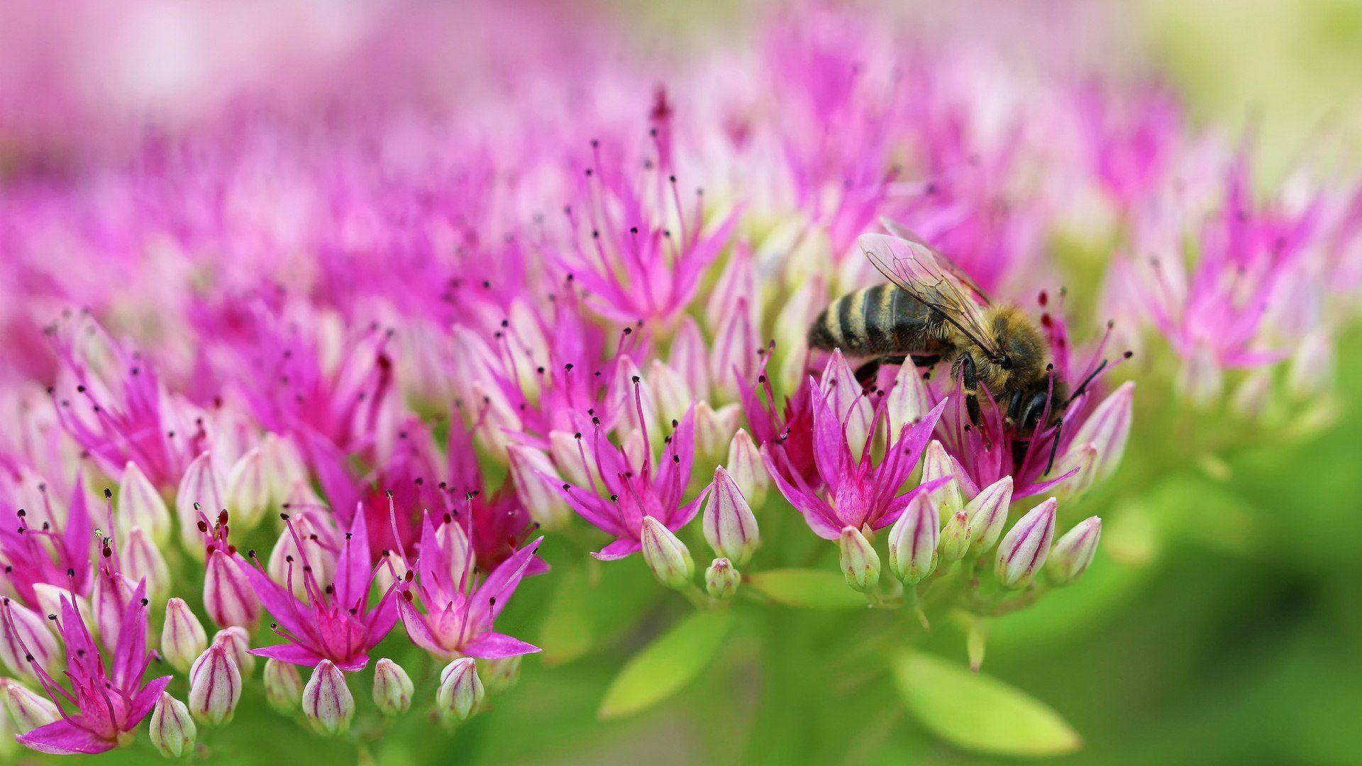пчела цветы розовые flowers pink bee  № 910735 загрузить