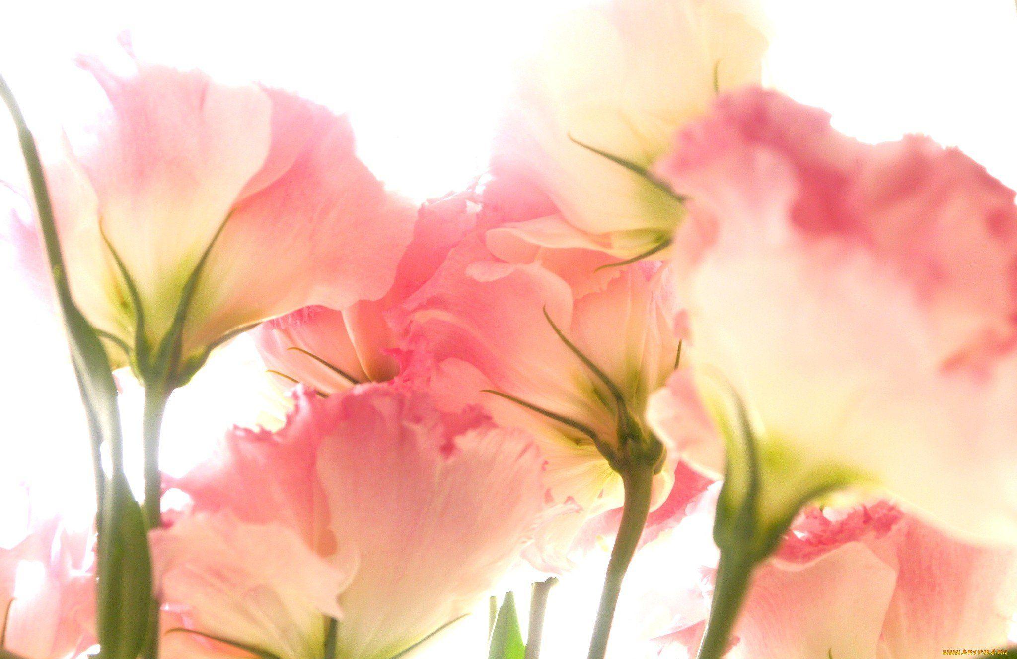 обои для рабочего стола цветы эустома № 631833 загрузить
