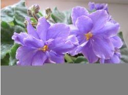Комнатные цветы фото фиалки