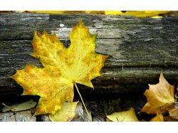 Кленовый лист осень фото