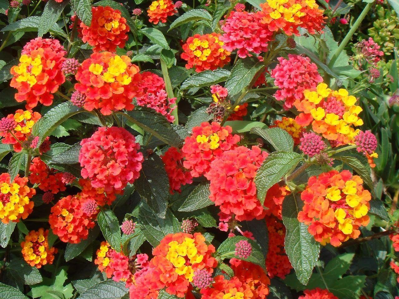 Декоративный цветок названия и фото
