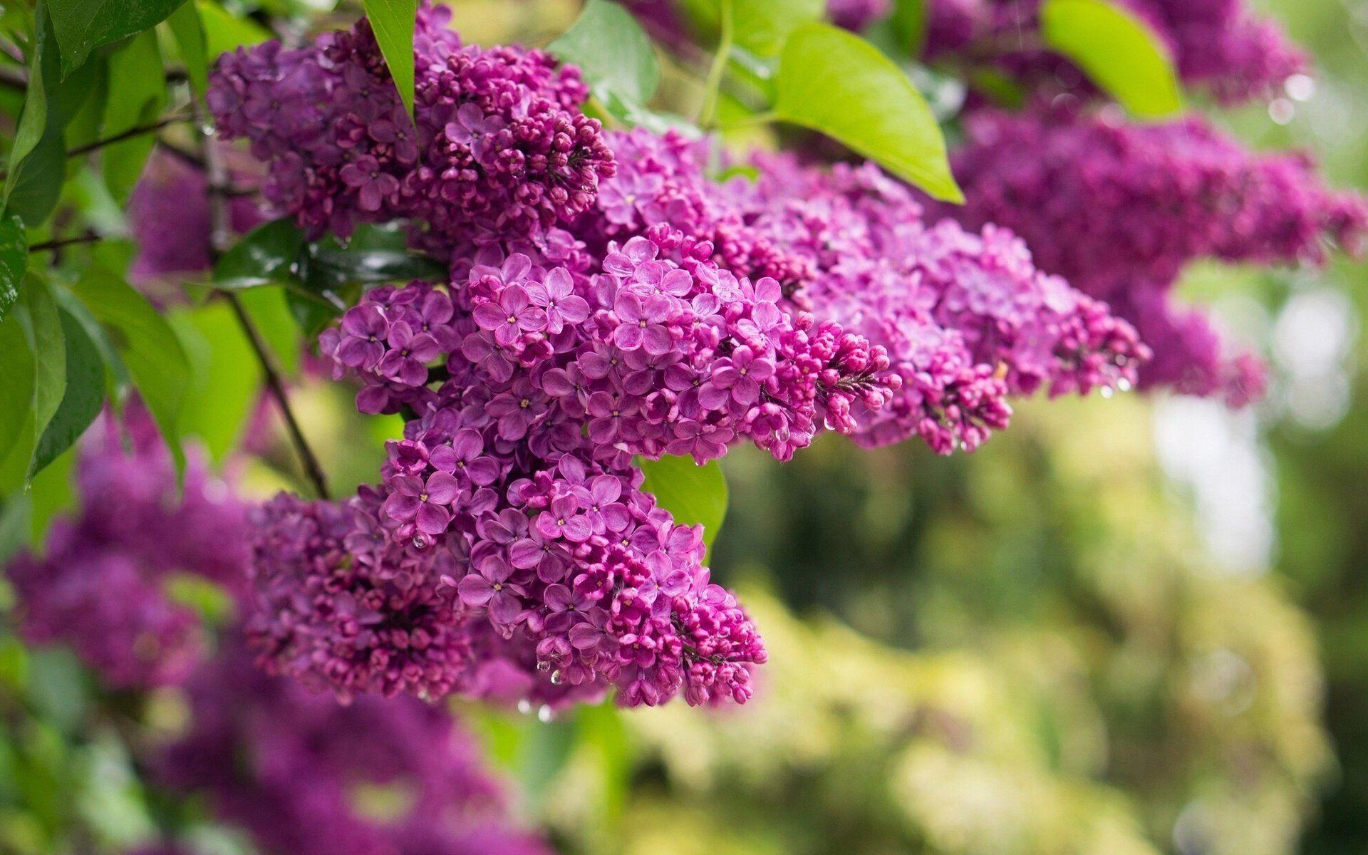 природа цветы ваза сирень  № 3063935 бесплатно