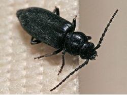 Картинки насекомые жуки 7