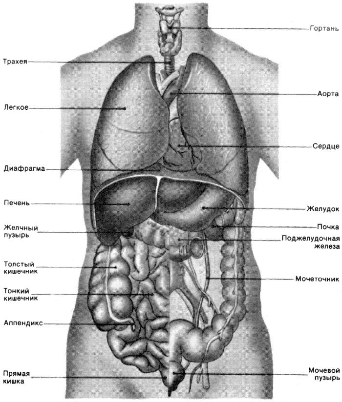 будови людини у фото на вікіпедії-щэ3