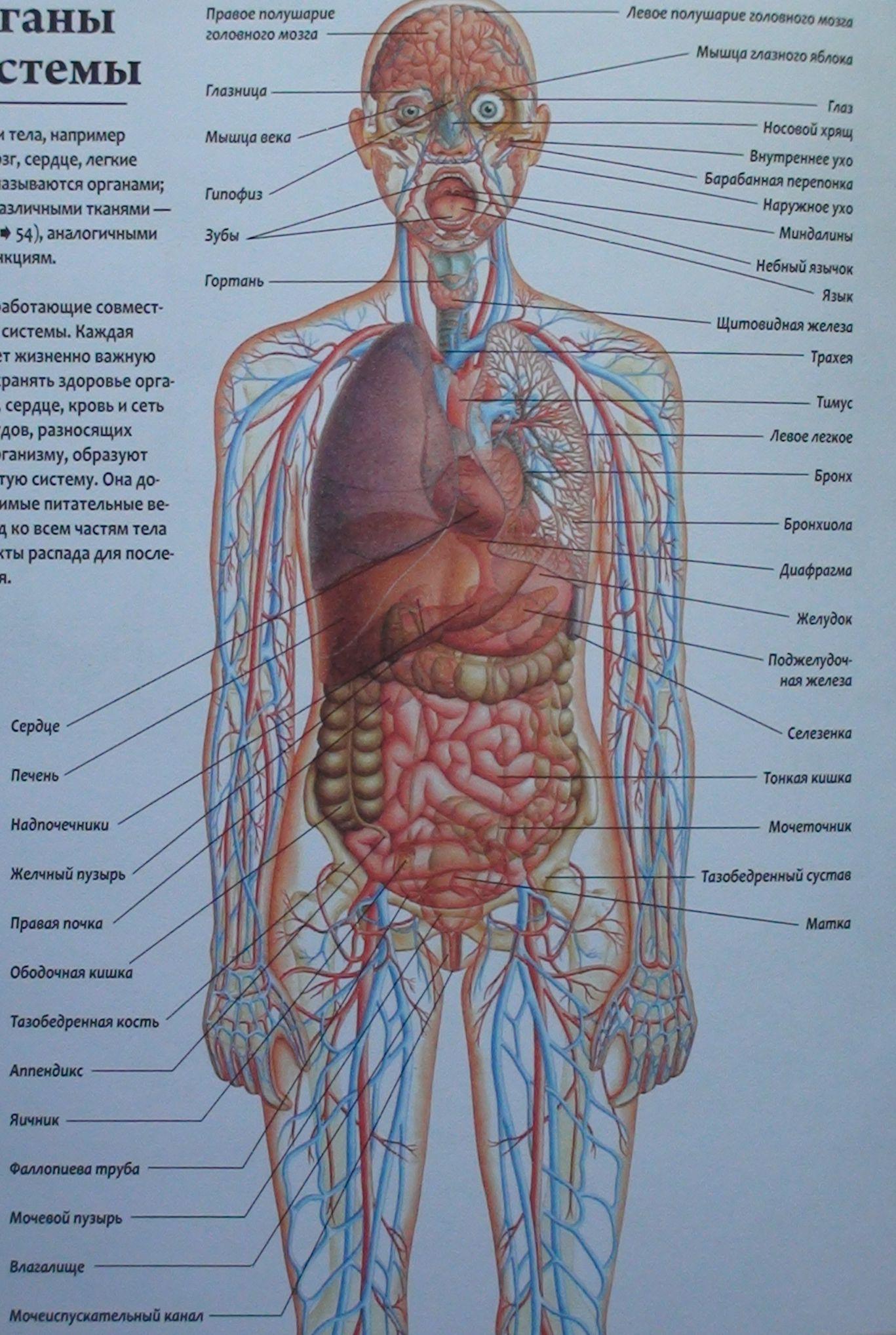 Человеческий организм где что находится