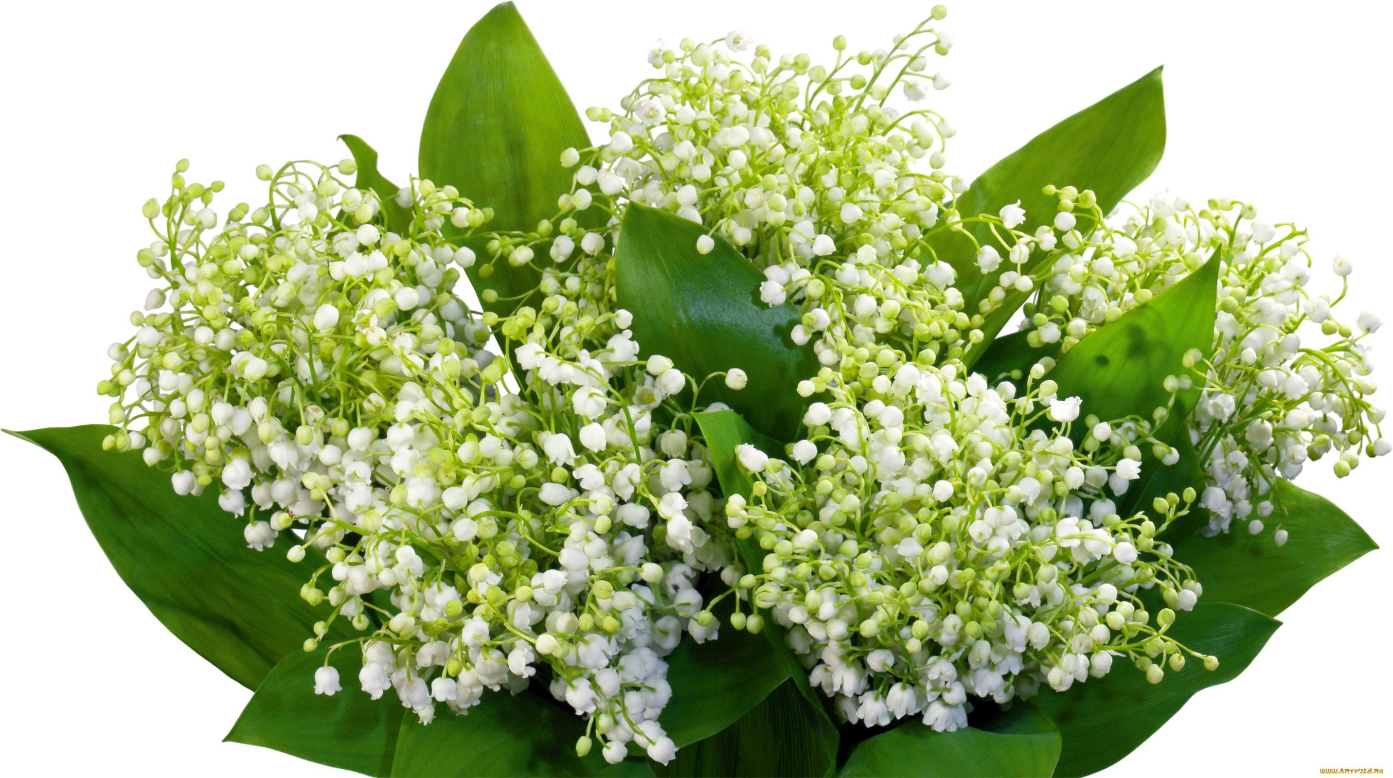 Цветок большие ландыши