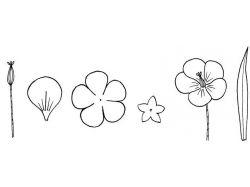 Мамбреция фото цветы 7