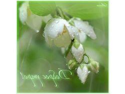 Картинки цветы жасмина 7