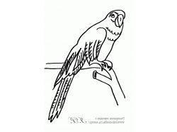 Великолепная райская птица - раскраски для детей 5