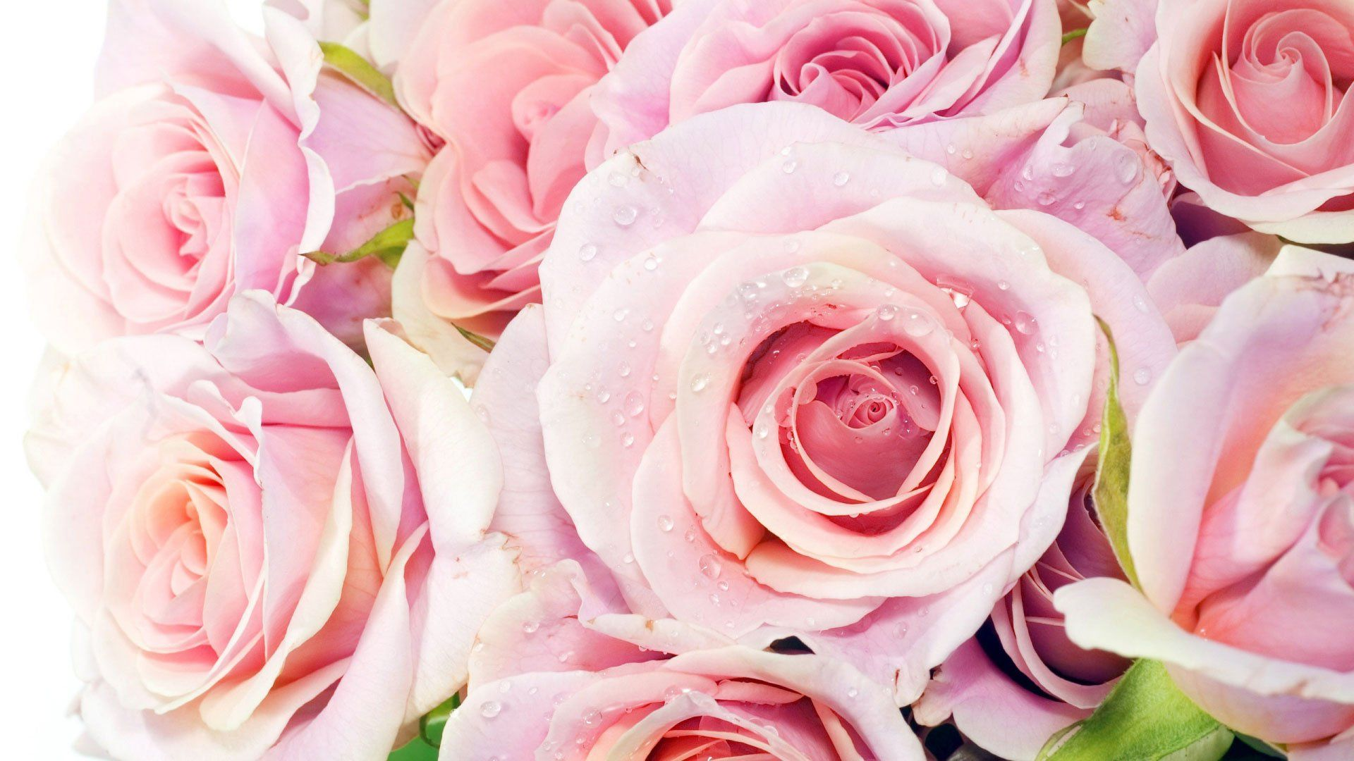 розовые розы обои на рабочий стол в высоком качестве № 130064 без смс