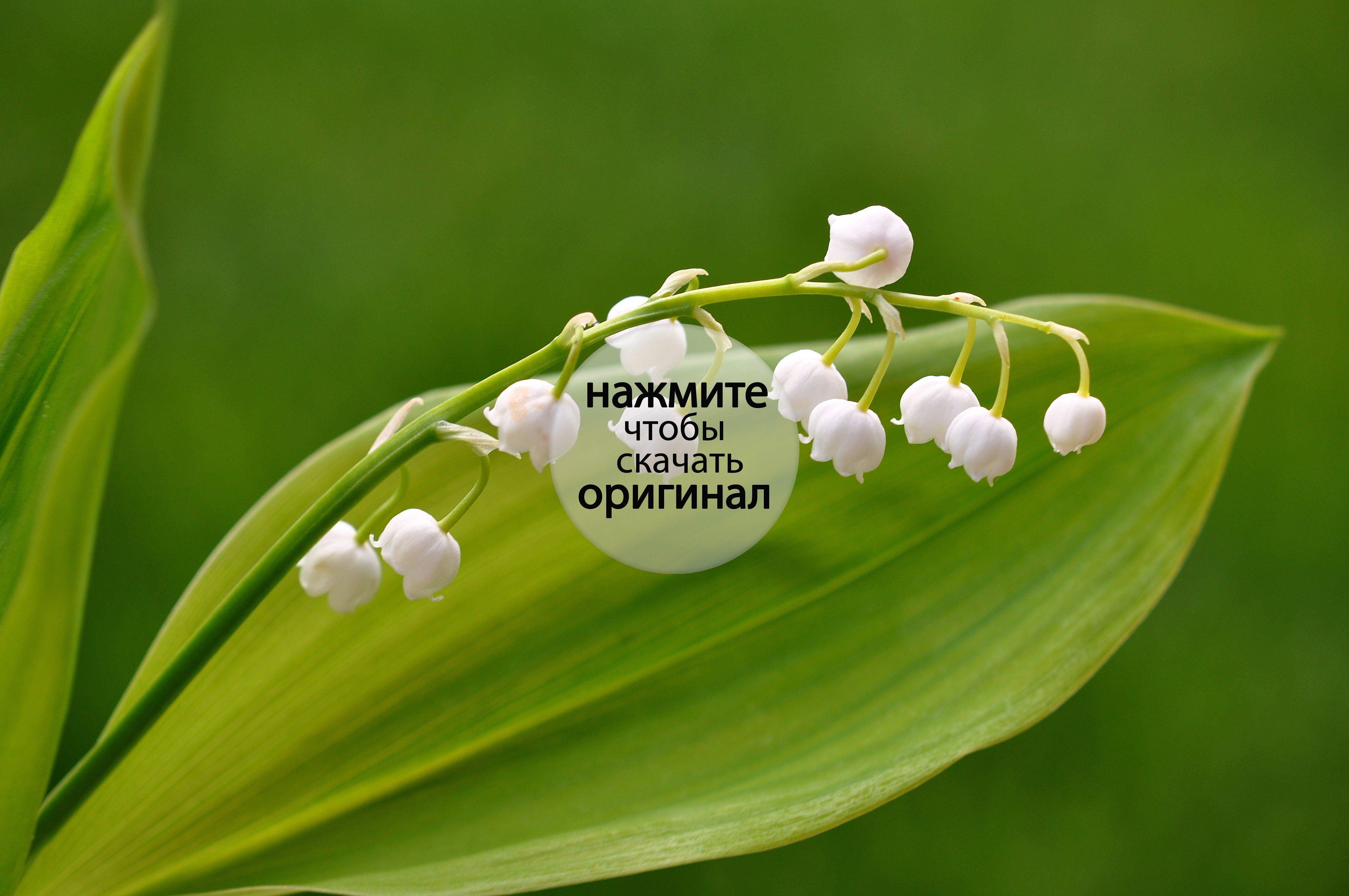Цветы белые ландыши  № 1608815 бесплатно