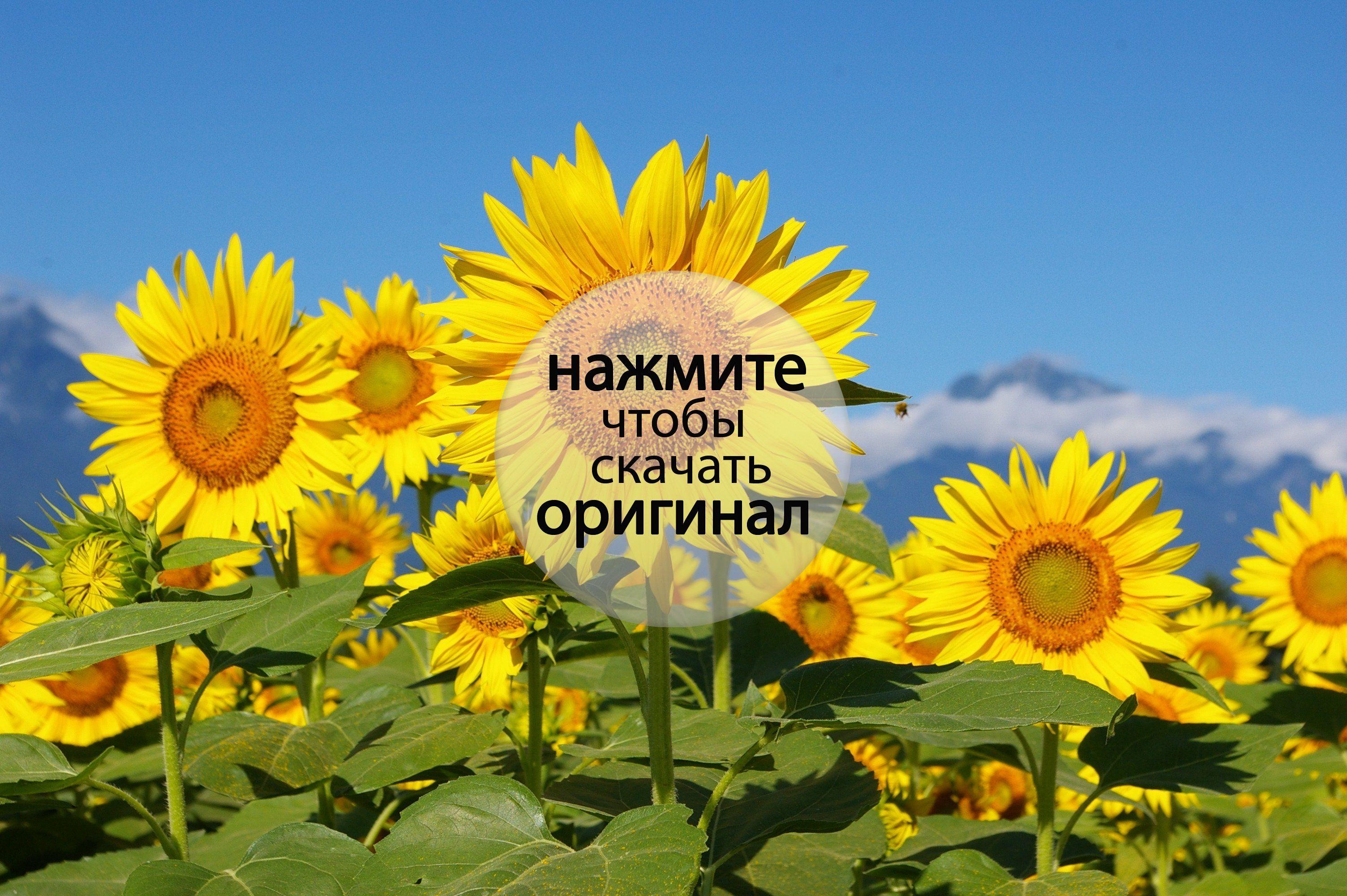 подсолнухи поле sunflowers field  № 419122  скачать