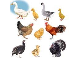 Домашние птицы и их детеныши картинки для детей 7
