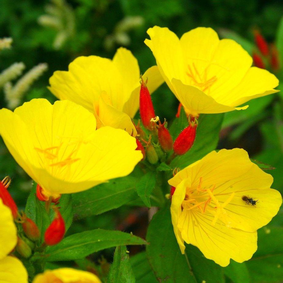 Садовые цветы многолетники желтого цвета фото с названием