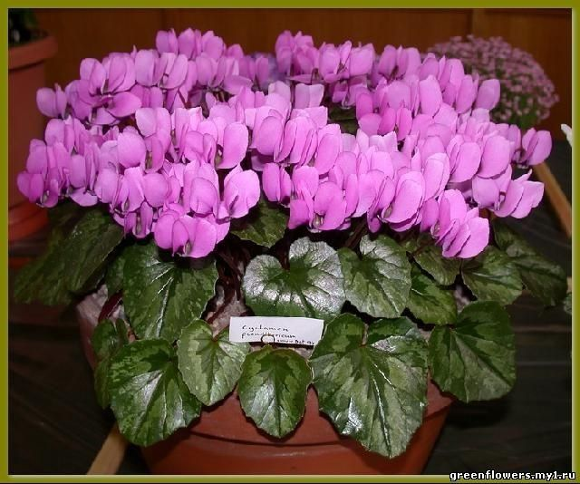 Неприхотливые красивые комнатные цветы