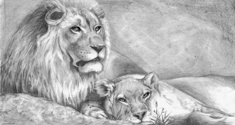 Lion picture drawing