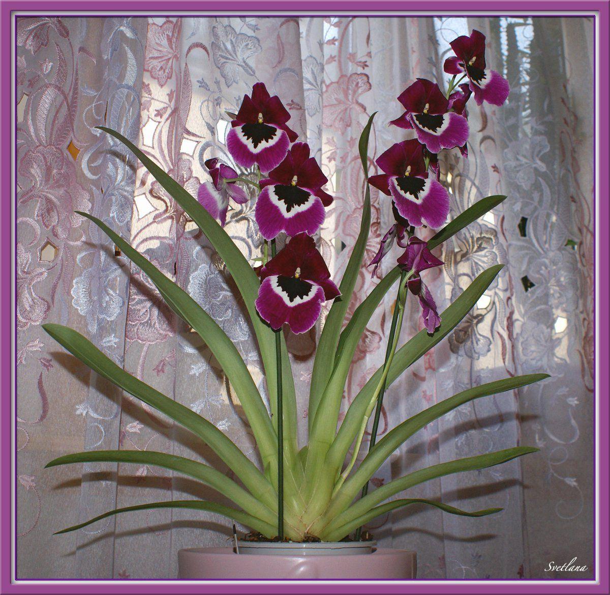 Комнатные цветы фото названия орхидея