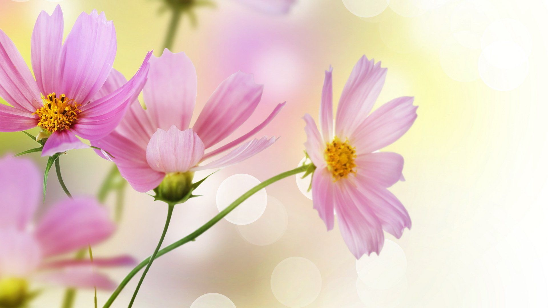 ромашки розовые белые chamomile pink white  № 1037972 без смс