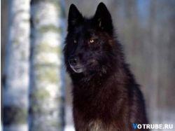 Черные животные фото 9