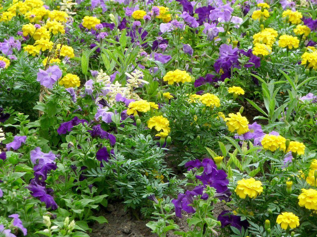 Фото однолетних цветов на даче