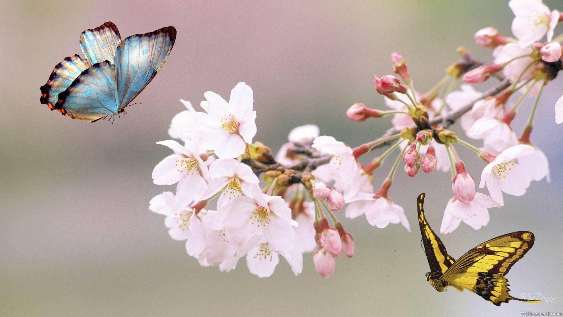Цветы вишни обои для рабочего стола