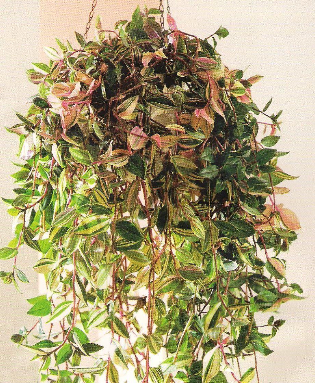 Фото комнатные цветы висячие