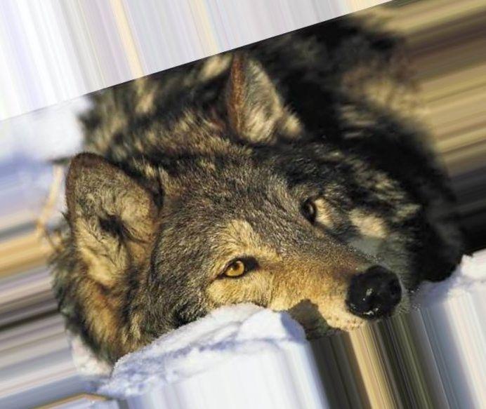 Фото волков на аву в одноклассники
