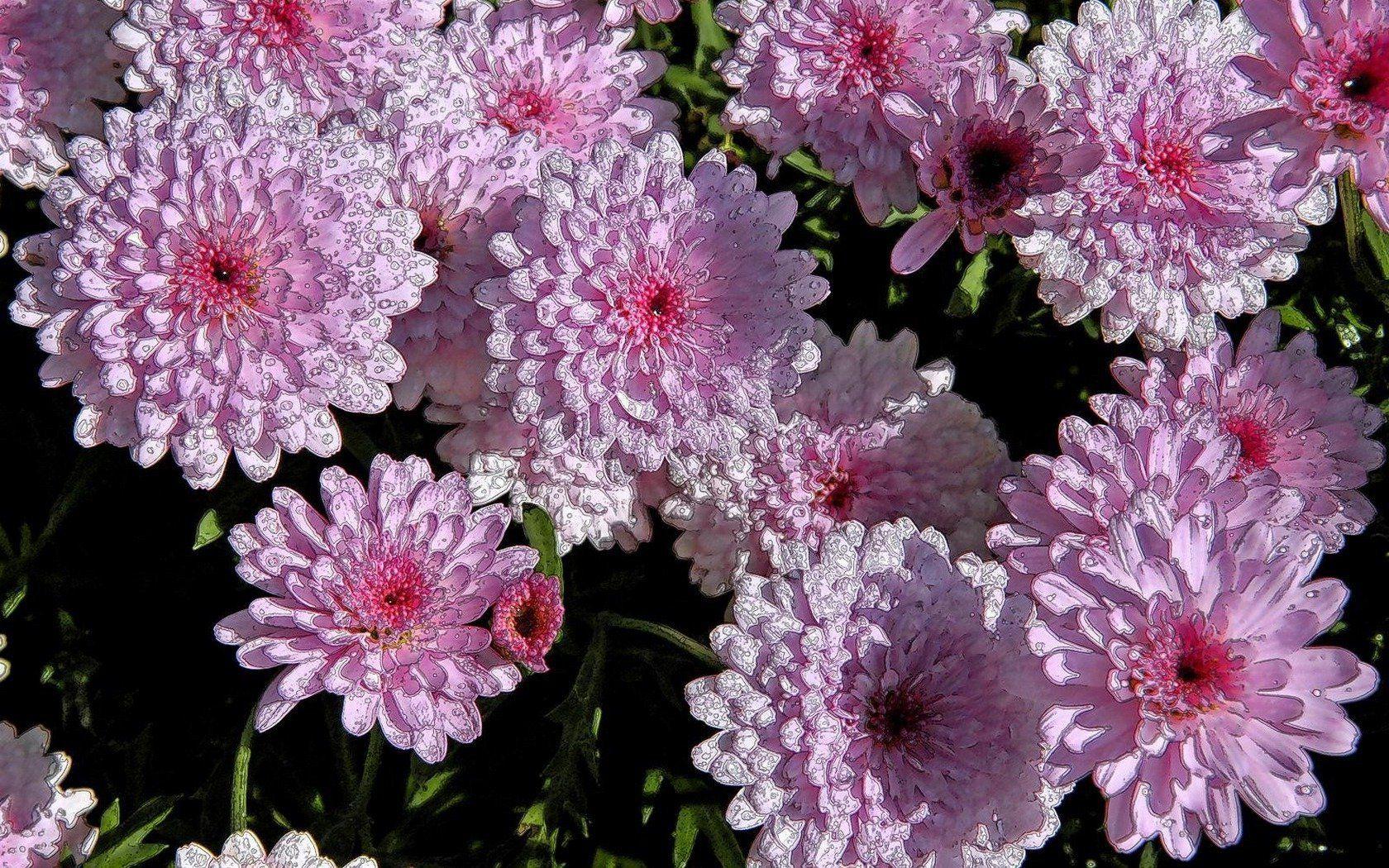 хризантема цветы  № 1353169 без смс