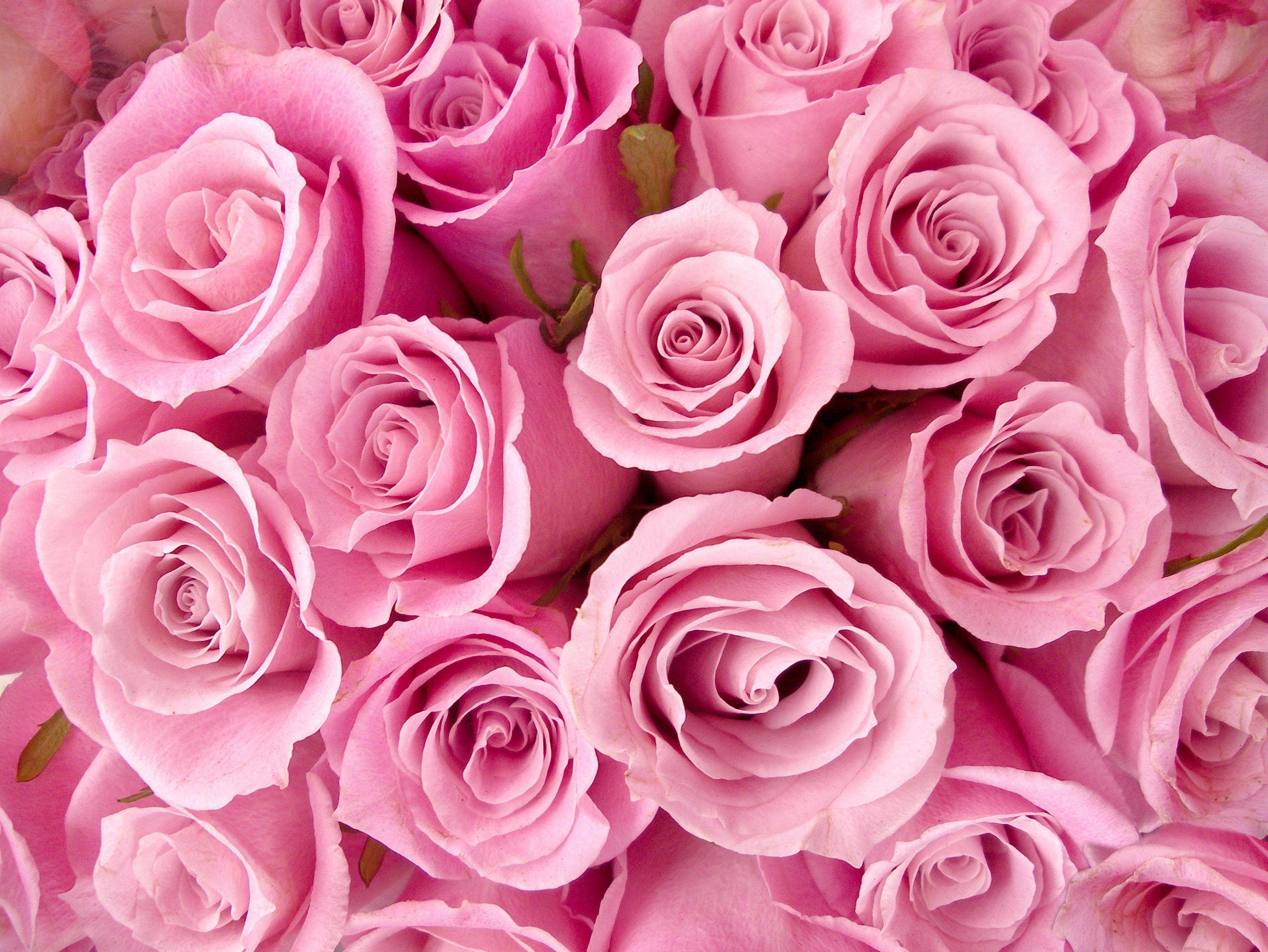 Большие розовые розы обои на рабочий стол