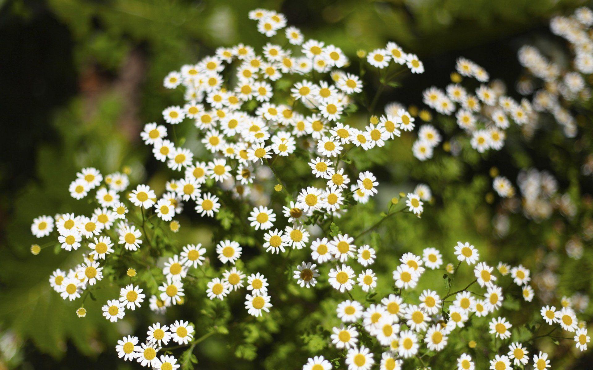 ромашки трава chamomile grass  № 3837871 без смс