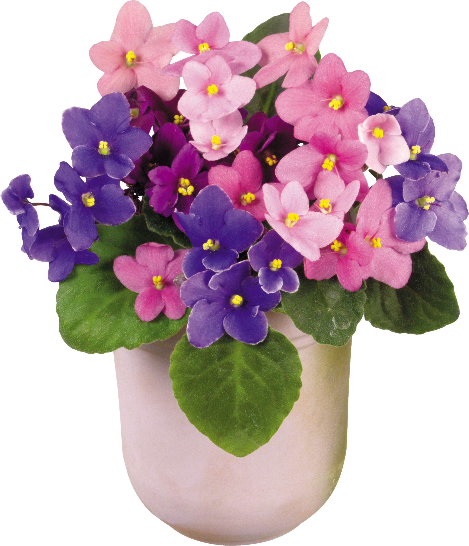 Домашние цветы в горшках фото и названия уход фиалка