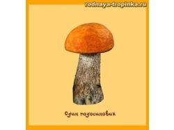 Картинка гриб подосиновик для детей