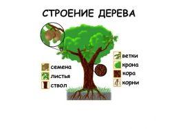 Строение дерева для детей картинки