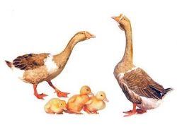Птенцы домашних птиц картинки для детей