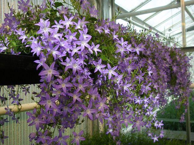 Ампельное растение для дома фото
