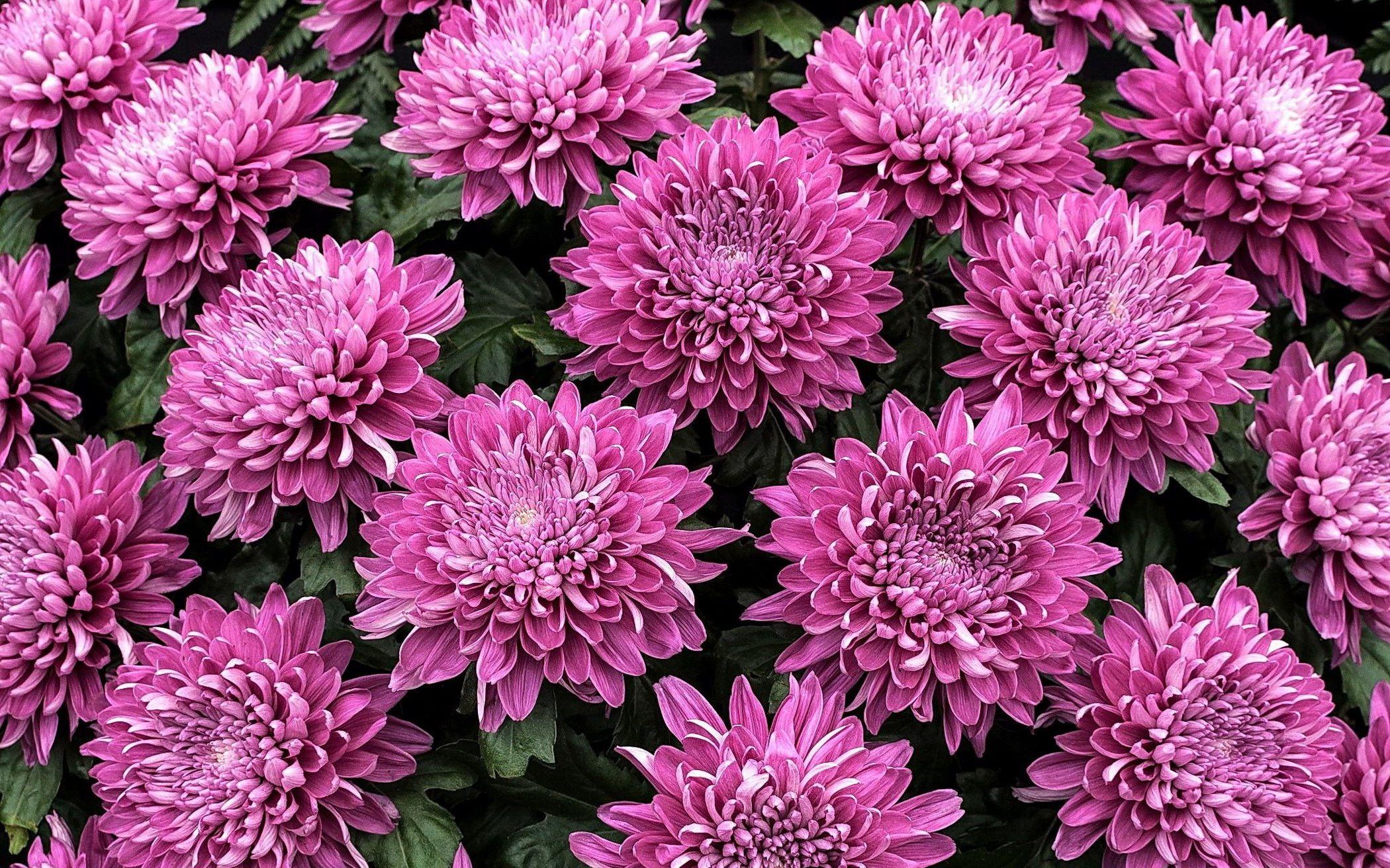 обои для рабочего стола осенние цветы хризантемы № 1155171 без смс