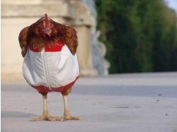 Курицы картинки 3