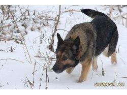 Немецкая овчарка фото зима 5