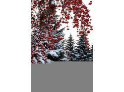 Фото зима рябина 1