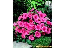 Лаватера фото цветы 2
