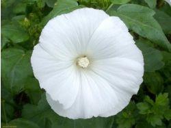 Лаватера фото цветы 4