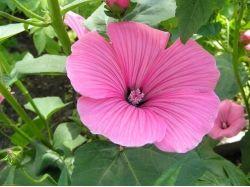 Лаватера фото цветы 5