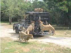 Самуи тайланд тигры фото 3
