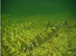 Калуга рыба фото 5