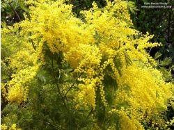 Цветок мимоза фото 4