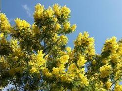 Цветок мимоза фото 6