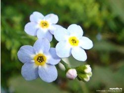 Цветы фото лютики 1